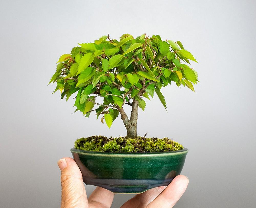 ケヤキ-4095(けやき・欅盆栽)bonsaiの販売:e-盆栽 ヤフー店