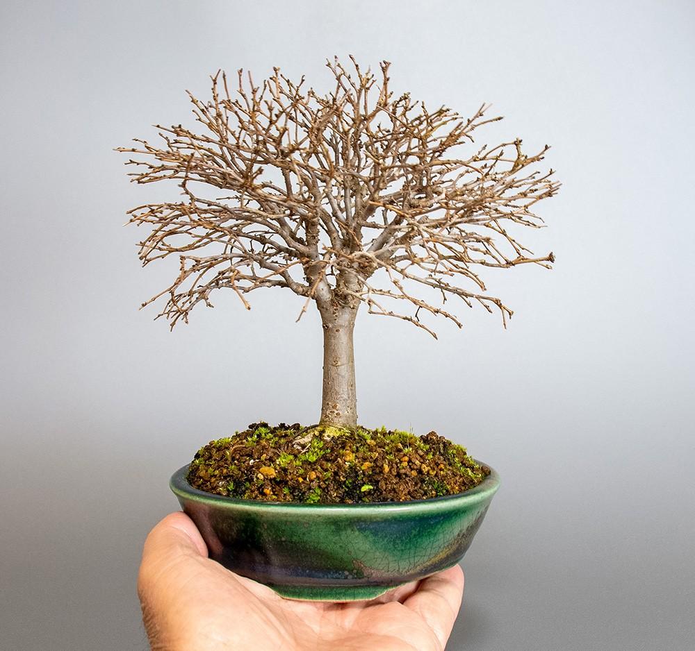 ケヤキ盆栽|e-盆栽 ヤフー店のケヤキ-J1-5(欅盆栽)Zelkova serrata bonsaiの販売