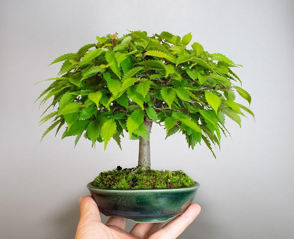 ケヤキ盆栽 e-盆栽 ヤフー店のケヤキ-J1-5(欅盆栽)Zelkova serrata bonsaiの販売
