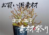 コマユミ素材祭り|e-盆栽 ヤフー店のコマユミ素材のお買い得商品の販売