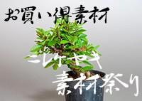 ニレケヤキ素材祭り|e-盆栽 ヤフー店のニレケヤキ素材のお買い得商品の販売