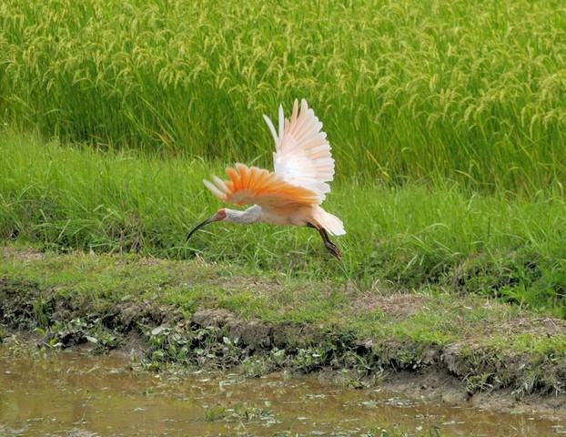 新潟県佐渡のトキ