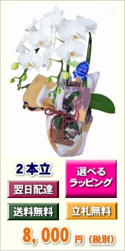 ミディ胡蝶蘭 2本立ち 風呂包み