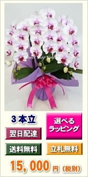 胡蝶蘭 サクラヒメ 3本立ち ミディ 中大輪
