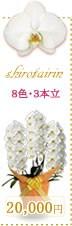 胡蝶蘭20,000円