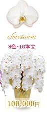 胡蝶蘭100,000円