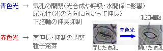 青色光→気孔の開閉、屈光性、下胚軸の身長抑制 赤色光→茎身長・抑制の調整、種子発芽