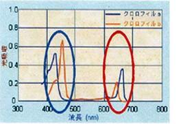 光合成を行う色素について