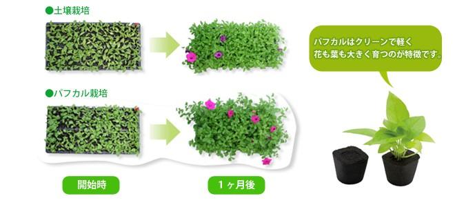 パフカルはクリーンで軽く花も葉も大きく育つのが特徴です。