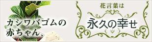 カシワバゴムの赤ちゃん、花言葉は「永久の幸せ」