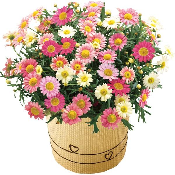 【送料無料】【母の日】マーガレット鉢植え いちごみるく 18年度−11(母の日)【代引不可】【ギフト館】