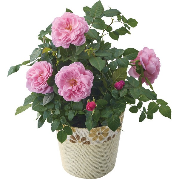 【送料無料】【母の日】バラ鉢植え アワラストサマー【代引不可】【ギフト館】