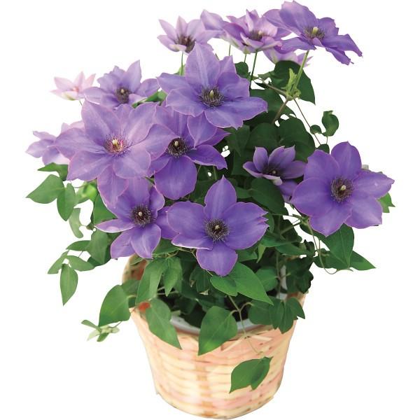【送料無料】【母の日】花のギフト社 クレマチス鉢植え ミゼットブルー 2018HK【代引不可】【ギフト館】
