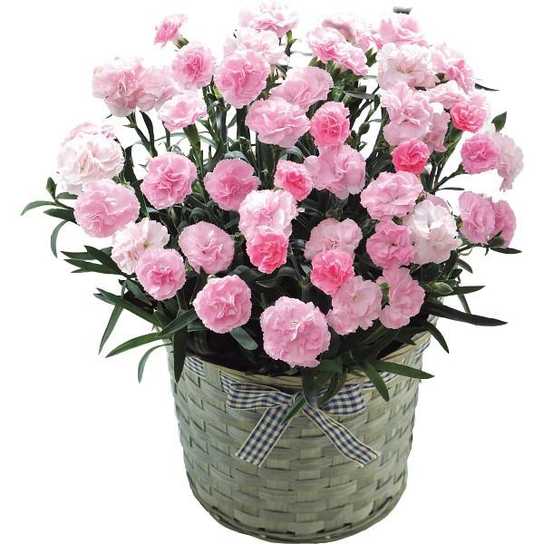 【送料無料】【母の日】ピンクカーネーション鉢植え「バンビーノ」5号【代引不可】【ギフト館】