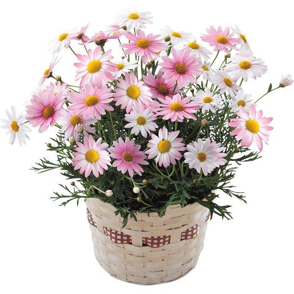 【送料無料】【母の日】マーガレット鉢植え さくらべーる【代引不可】【ギフト館】