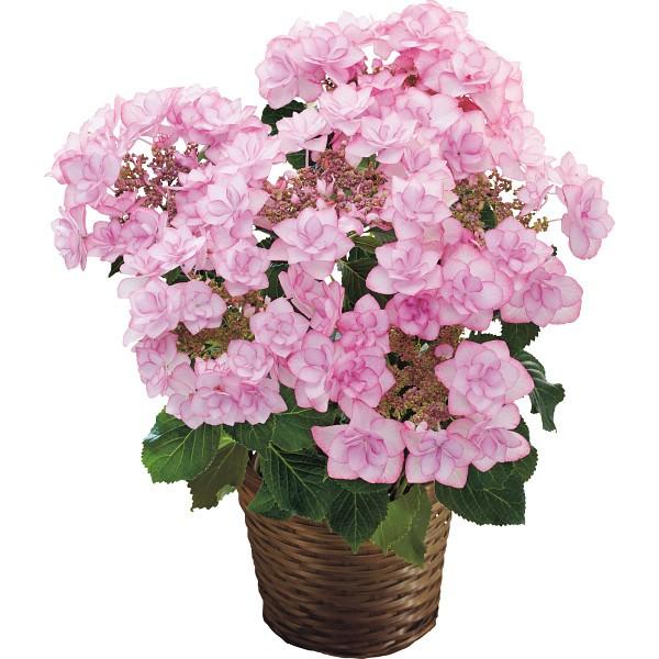【送料無料】【母の日】アジサイ鉢植え ピンキーリング 19年度−7(母の日)【代引不可】【ギフト館】