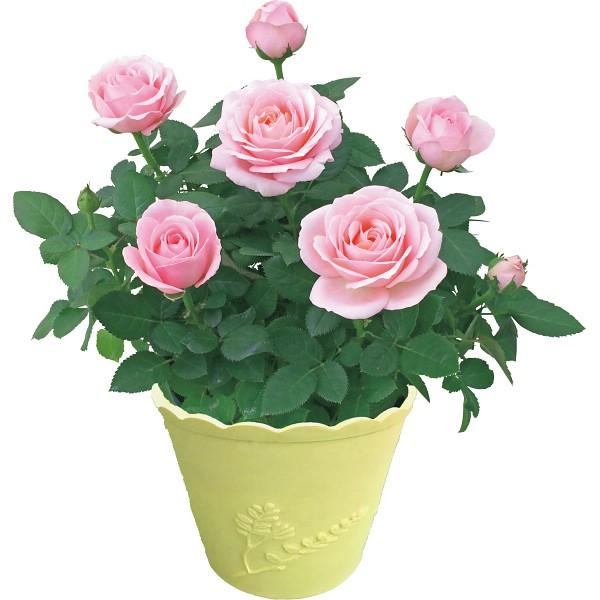 【送料無料】【母の日】ミニバラ鉢植え プリンセス・オブ・インフィニティ【代引不可】【ギフト館】