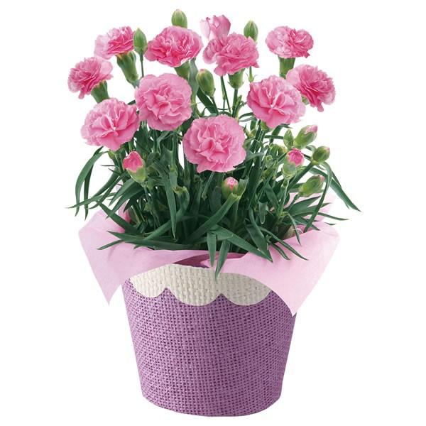【送料無料】【母の日】母の日 カーネーション・ピンク 4号【代引不可】【ギフト館】