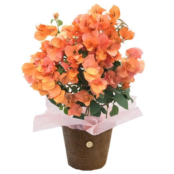 【送料無料】【母の日】母の日 ブーゲンビリア カリフォルニアオレンジ 4号【代引不可】【ギフト館】