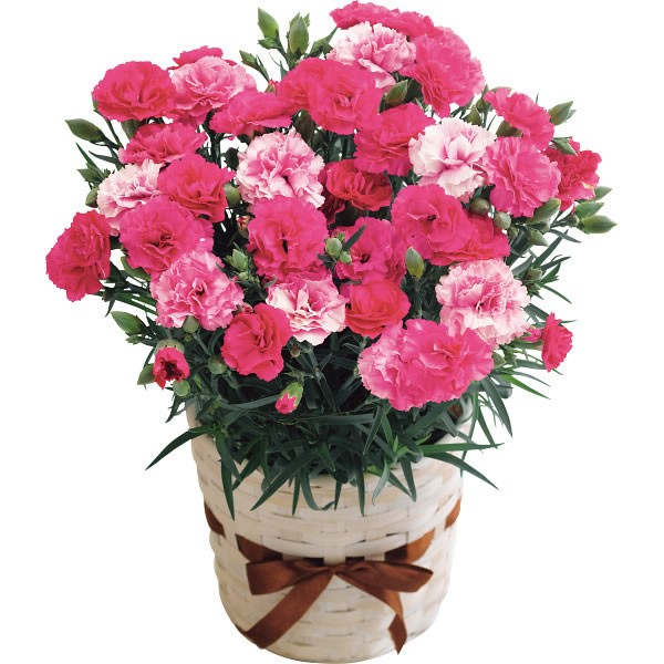 【送料無料】【母の日】カーネーション鉢植え さくらもなか 20年度−2(母の日)【代引不可】【ギフト館】