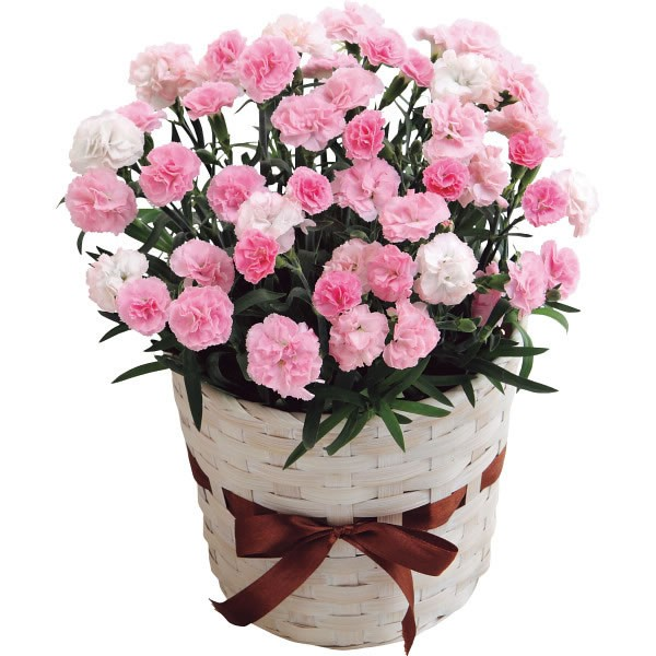 【送料無料】【母の日】カーネーション鉢植え バンビーノ5号 20 20年度−7(母の日)【代引不可】【ギフト館】