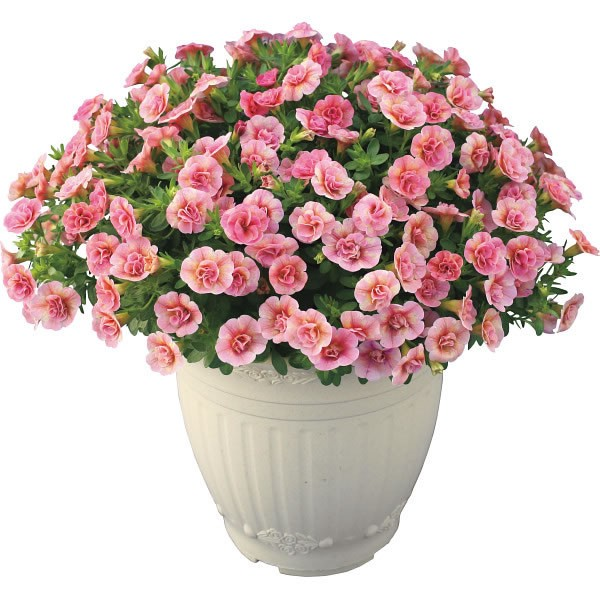 【送料無料】【母の日】八重咲きカリブラコア鉢植え ピーチイエロー【代引不可】【ギフト館】