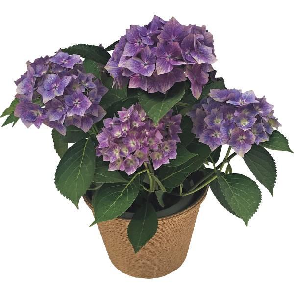 【送料無料】【母の日】あじさい鉢植え 星がすり ブルー【代引不可】【ギフト館】