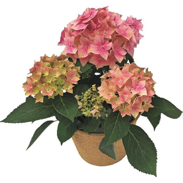 【送料無料】【母の日】あじさい鉢植え 星がすり ピンク【代引不可】【ギフト館】