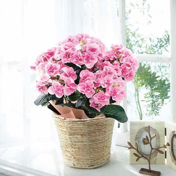 【送料無料】【母の日】色移りアジサイ鉢植え フェアリーアイ ピンク【代引不可】【ギフト館】