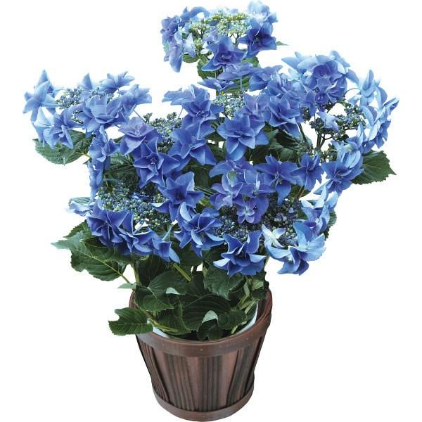 【送料無料】【母の日】色移りアジサイ鉢植え フェアリーアイ ブルー【代引不可】【ギフト館】
