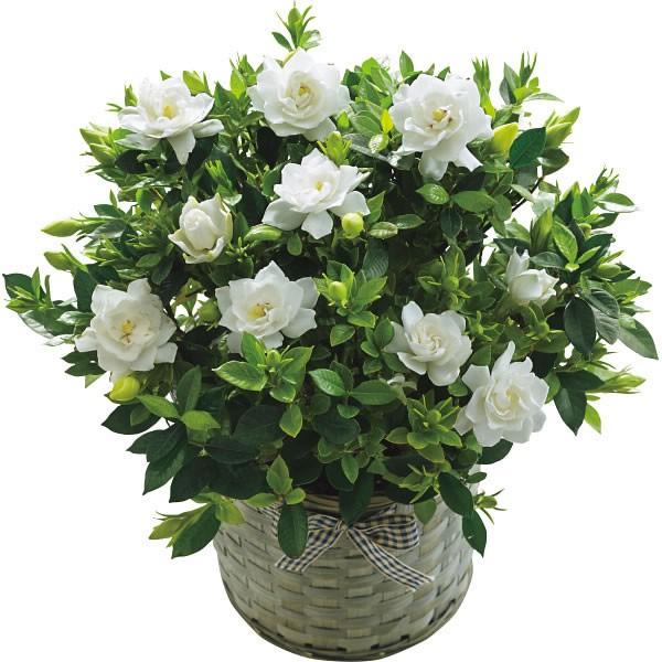 【送料無料】【母の日】ガーデニア鉢植え 20年度−9(母の日)【代引不可】【ギフト館】