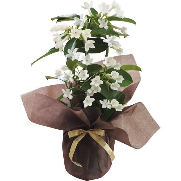 【送料無料】【母の日】マダガスカルジャスミン鉢植え 20年度−10(母の日)【代引不可】【ギフト館】
