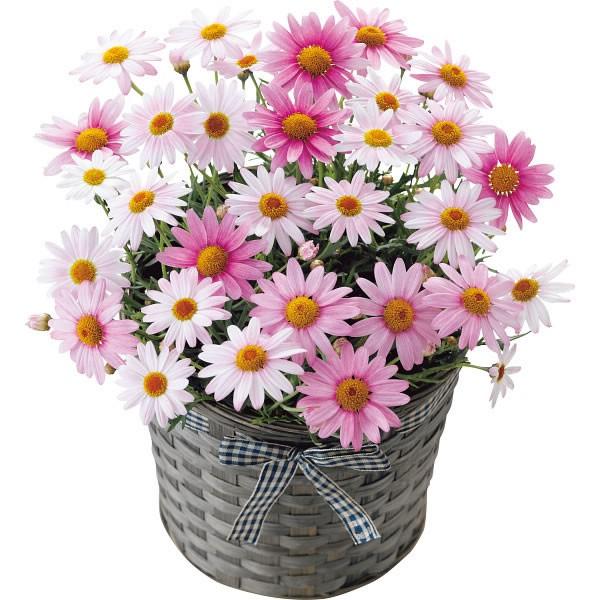【送料無料】【母の日】マーガレット鉢植え さくらべーる 20年度−6(母の日)【代引不可】【ギフト館】