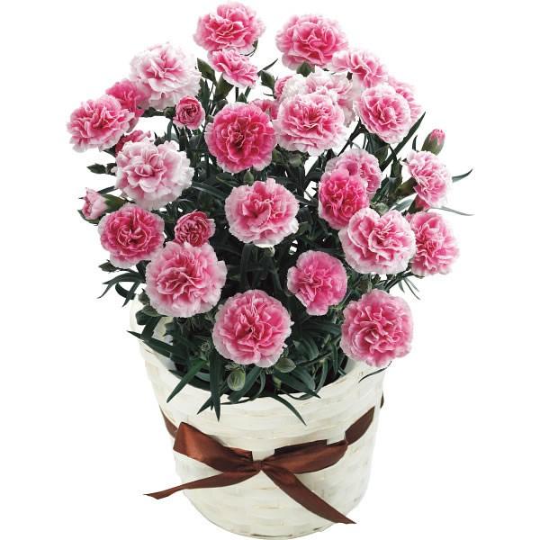 【送料無料】【母の日】カーネーション鉢植え パティシエール 20年度−11(母の日)【代引不可】【ギフト館】