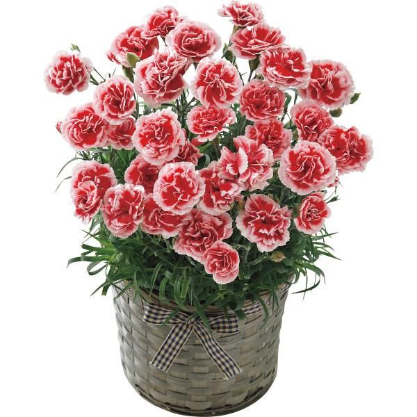 【送料無料】【母の日】カーネーション鉢植え いちごホイップ 20年度−12(母の日)【代引不可】【ギフト館】