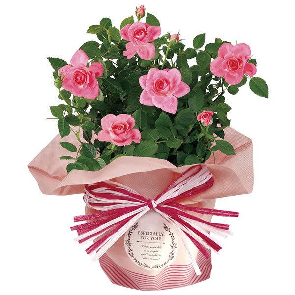 【送料無料】【母の日】母の日 ミニバラ・ピンク 4号【ギフト館】