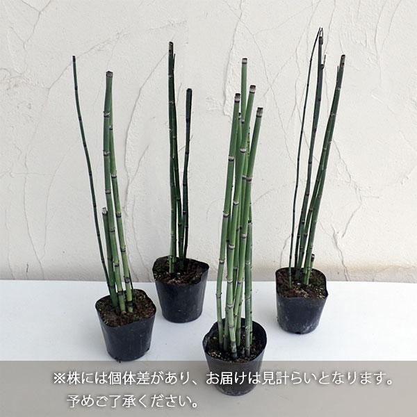 草花の苗/トクサ(木賊):オオトクサ3.5号ポット - 園芸ネット
