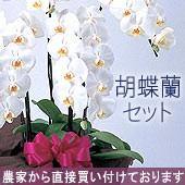 胡蝶蘭セット
