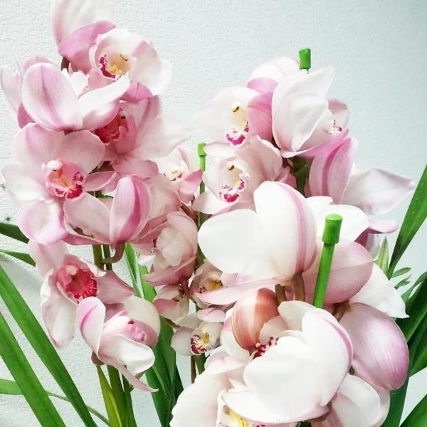 「シンビジウム 3本立ち」 誕生日 お祝い 開店・開業祝い お歳暮 春のギフト 花 ラン 洋蘭 花鉢 ピンク イエロー 送料無料 f-hanasyou 06