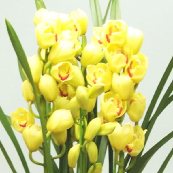 「シンビジウム 3本立ち」 誕生日 お祝い 開店・開業祝い お歳暮 春のギフト 花 ラン 洋蘭 花鉢 ピンク イエロー 送料無料 f-hanasyou 07
