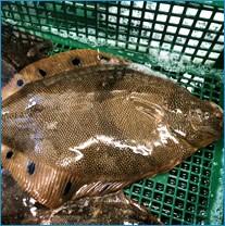鮮魚 生 活締め〆
