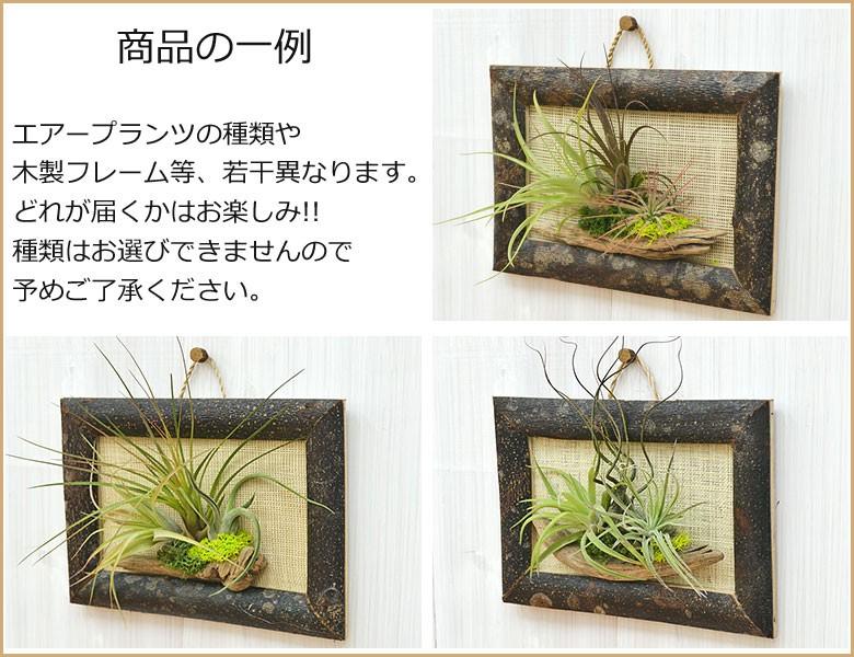 エアープランツ(チランジア) 壁掛け木製フレーム S 設置イメージ