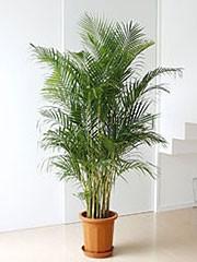 観葉植物アレカヤシ