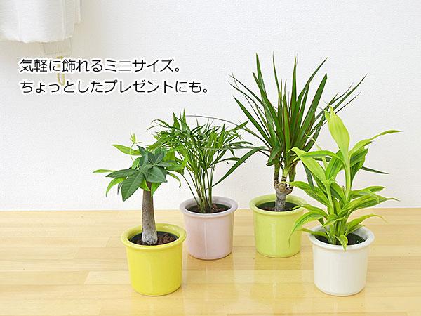 ミニ観葉植物ハイドロカルチャーパステル陶器 イメージ