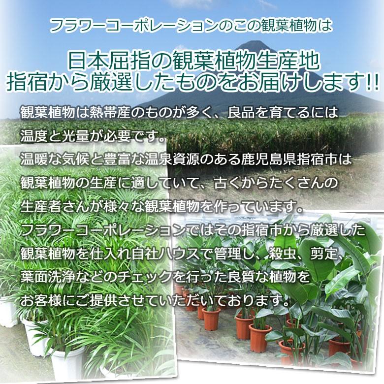 フラワーコーポレーションの観葉植物