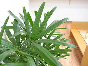 観葉植物 観音竹(カンノンチク) 8号 葉の拡大