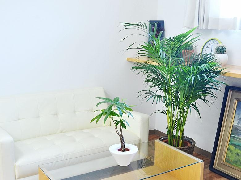 観葉植物 アレカヤシ 8号 鉢カバー付き 設置イメージ2