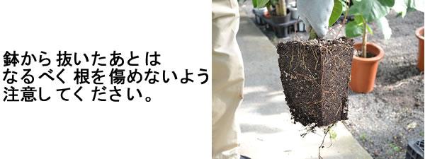 鉢から観葉植物を抜く