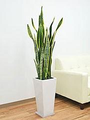 観葉植物サンスベリア(サンセベリア)・ローレンティ