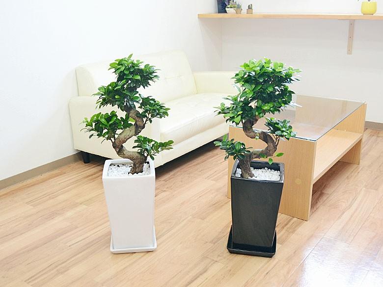 観葉植物 ガジュマル 曲がり仕立て スクエア陶器鉢植え スクエア陶器鉢 設置イメージ3